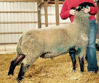 Mattingly Sheep Co  | Sires